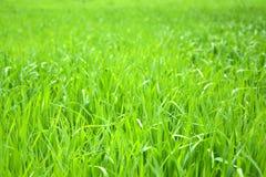 Świeża trawa Fotografia Stock