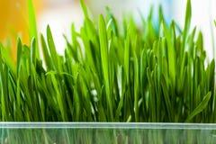 Świeża trawa indoors Fotografia Royalty Free