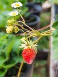 Świeża truskawka Fotografia Stock