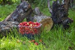 Świeża truskawka w koszu na konopie Obrazy Royalty Free