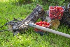 Świeża truskawka w koszu na konopie Fotografia Stock