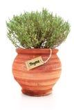 Świeża tymiankowa roślina zdjęcia royalty free
