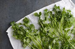 Świeża ukradziona cilantro osuszka na białym kuchennym ręczniku i wiejskim zmroku stole obraz royalty free