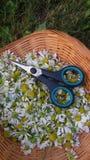 Świeża uprawa chamomile kwiaty Obraz Stock