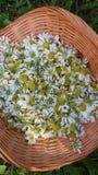 Świeża uprawa chamomile kwiaty Zdjęcie Royalty Free