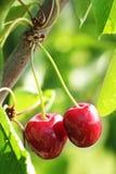 Świeża wiśnia na gałąź Obrazy Royalty Free