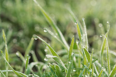 Świeża wiosny trawa zakrywająca z ranek rosą Zdjęcia Royalty Free