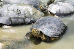Świeża woda żółw obrazy royalty free
