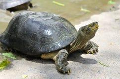 Świeża Woda żółw zdjęcie royalty free