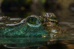 Świeża Woda krokodyl Obrazy Royalty Free