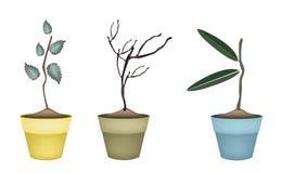 Świeża zieleń i Suszy rośliny w kwiatów garnkach Zdjęcie Stock
