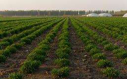 Świeża zieleń na śródpolnym wiosny rolnictwie Fotografia Stock