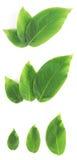 świeża zieleń opuszczać set Zdjęcia Royalty Free