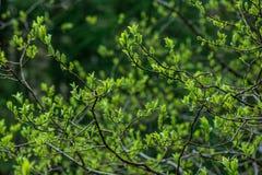 świeża zieleń opuszcza z plamy tłem w wiosny słońcu zdjęcie royalty free