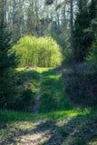 świeża zieleń opuszcza z plamy tłem w wiosny słońcu obraz stock