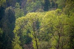 świeża zieleń opuszcza z plamy tłem w wiosny słońcu fotografia royalty free