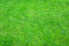 Świeża zieleń robiący manikiur gazonu zakończenie up Obcięty zielonej trawy tło obraz royalty free