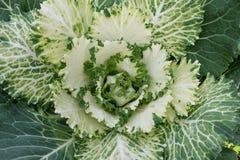 Świeża zieleni kapusta Obrazy Royalty Free