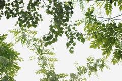 Świeża zielona brzoza opuszcza i rozgałęzia się akacja obraz royalty free