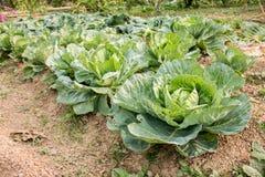 Świeża zielona kapusta, organicznie warzywa w podwórku uprawia ogródek Zdjęcia Royalty Free