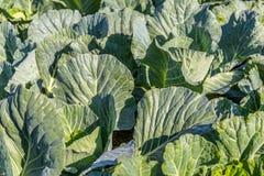 Świeża zielona kapusta w rolnego pola jarzynowym organicznie tle Zamyka up kapusta w ogr?dzie zdjęcie stock