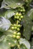 Świeża zielona kawowa fasola, surowa kawowa fasola Obrazy Stock