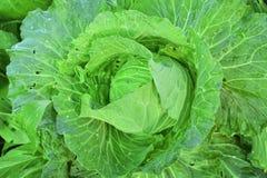 Świeża zielona organicznie kapusta z kropelkami woda w ogródzie Zdjęcie Stock