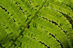 Świeża zielona paproć, naturalny tło fotografia stock