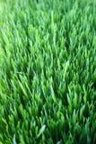 Świeża zielona pszeniczna trawa Zdjęcie Stock