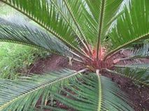Świeża Zielona roślina, Cycas Revoluta, Boczny widok zdjęcia royalty free