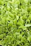 świeża zielona sałata Obraz Stock