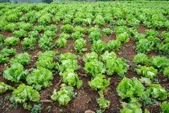 Świeża zielona sałata na ziemi w gospodarstwie rolnym zdjęcie royalty free