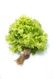 Świeża zielona sałata z korzeniem obrazy royalty free