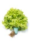 Świeża zielona sałata z korzeniem Obraz Royalty Free