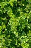 Świeża zielona sałaty sałatka opuszcza zbliżenie struktura Obrazy Royalty Free