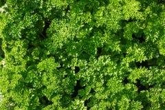 Świeża zielona sałaty sałatka opuszcza zbliżenie struktura Obraz Royalty Free