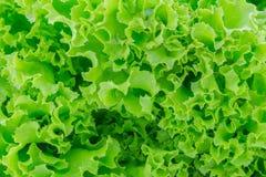 Świeża zielona sałaty tekstura Obrazy Royalty Free