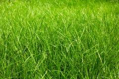 Świeża zielona trawa Obraz Stock