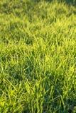 Świeża zielona trawa na gazonie Fotografia Stock