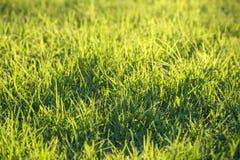 Świeża zielona trawa na gazonie Zdjęcia Royalty Free