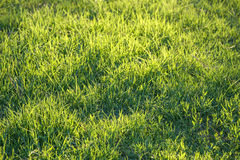 Świeża zielona trawa na gazonie Obraz Stock