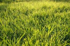 Świeża zielona trawa na gazonie Obrazy Royalty Free