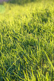 Świeża zielona trawa na gazonie Zdjęcie Royalty Free