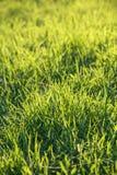 Świeża zielona trawa na gazonie Obraz Royalty Free