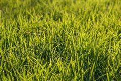 Świeża zielona trawa na gazonie Zdjęcia Stock