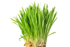 Świeża zielona trawa, owies flance, zakończenie up, odizolowywać na bielu plecy Fotografia Stock