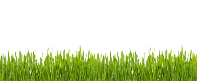 Świeża Zielona trawa z podeszczową wodą odizolowywającą na białym tle Obrazy Stock