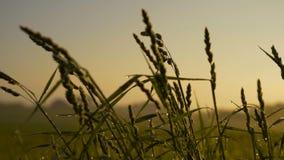 Świeża zielona trawa z rosa kropel klamerkami, rosa krople na zielonej trawy materiale filmowym, deszcz opuszcza na zielonej traw zbiory wideo