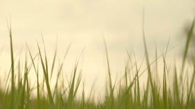 Świeża zielona trawa, zakończenie zdjęcie wideo