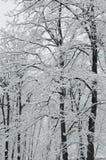 świeże śnieżni objętych drzewa Obraz Stock
